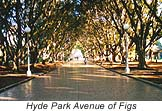 Hyde Park's avenue of the figs